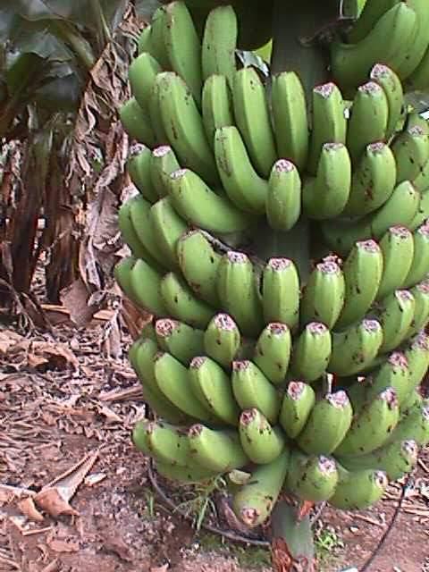islas sin duda es el plátano aunque pude ver otros árboles frutales ...